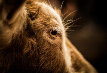 viviardesio ardesio fiera delle capre